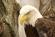 Reelfoot Lake Framed Prints - Bald Eagle 6 Framed Print by Douglas Barnett