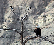 Magpies Photos - Bald Eagle and Friends by Margaret  Slaugh