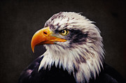 Eagle Metal Prints - Bald Eagle Metal Print by Angela Doelling AD DESIGN Photo and PhotoArt