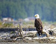 Babylon Posters - Bald Eagle at Chilkat Poster by Vicki Jauron
