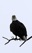 Bob Marquis  - Bald Eagle
