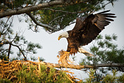Raptor Metal Prints - Bald Eagle building nest Metal Print by Everet Regal