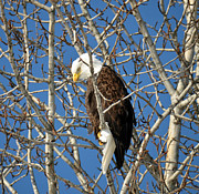 Eagle Picture Prints - Bald Eagle Captain Cooks Alaska Print by Debra  Miller