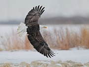 Flying Pyrography Prints - Bald Eagle  Print by Daniel Behm