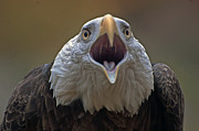 Cheryl Cencich - bald eagle Don