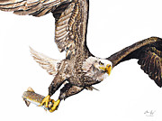 Photo-realism Drawings - Bald Eagle Fishing White Background by Aaron Spong