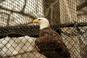 American Eagle Photos - Bald Eagle Fishing with Net 1 by Douglas Barnett