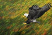 Aggressive Art - Bald Eagle Haliaeetus Leucocephalus by Thomas Kitchin & Victoria Hurst