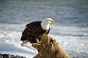 Eagle Picture Prints - Bald Eagle Homer Spit Alaska Print by Debra  Miller