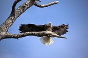 Bald Eagle In Flight 5 Print by Randy Matthews