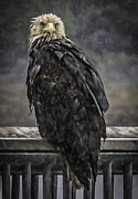 Timothy Latta - Bald eagle in the rain...