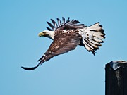 William Wyckoff - Bald Eagle in Ucluelet