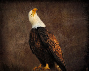 Eagle Metal Prints - Bald Eagle Metal Print by Jai Johnson