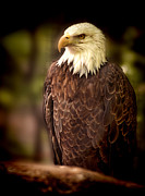 American Eagle Photos - Bald Eagle by Joe Granita