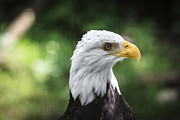 Animals In Gardens Posters - Bald Eagle Poster by Juan  Silva