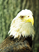 Justyn  Lamb - Bald Eagle