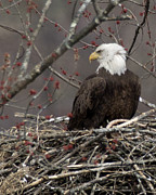 Deborah  Smith - Bald Eagle On Nest