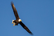 Eleanor Abramson - Bald Eagle on the Hunt