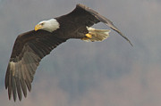 Bald Eagle On The Wing Print by Stanley Klein