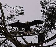 LAWRENCE CHRISTOPHER - BALD EAGLE PAIR