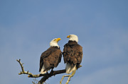 Male Framed Prints Photos - Bald Eagle Pair - Part 4 by Jlt Photography