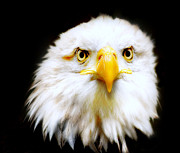 Birds Of Prey Photos - Bald Eagle by Photodream Art