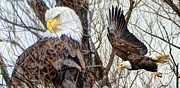 Armand  Roux - Northern Point Photography - Bald Eagle Portrait