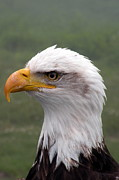 Brian Chase - Bald Eagle Portrait