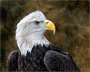 Daniel Behm - Bald Eagle Portrait
