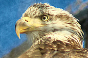 Lorella  Schoales - Bald Eagle Profile