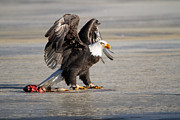 Eti Reid - Bald eagle protecting...