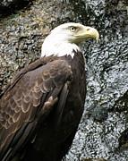 Ramona Johnston - Bald Eagle