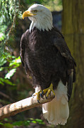 Roger Reeves - Bald Eagle