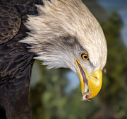 Bald Eagle Snacks Print by Bill Tiepelman