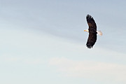All - Bald Eagle Soaring by Jaci Harmsen