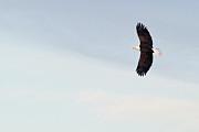 All - Bald Eagle Soaring by Jaci Harmsen