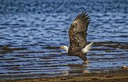 Mitch Shindelbower - Bald Eagle Take Off
