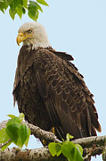 Tim Moore Metal Prints - Bald Eagle Metal Print by Tim Moore