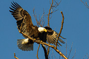 Eleanor Abramson - Bald Eagle Touching Down