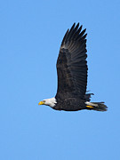 Eagles In Flight Prints - Bald Eagle vertical 2 Print by Sharon  Talson