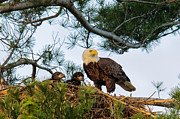 Juvenile Metal Prints - Bald Eagle with Eaglets  Metal Print by Everet Regal
