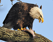 Bald Eagle With Fish Print by Angel Cher