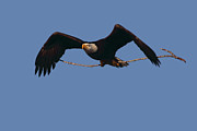 Bald Eagle With Nesting Supplies Print by Meg Rousher