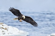 With Pyrography Prints - Bald Eagle With Prey Print by Daniel Behm