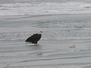 Randy J Heath - Bald Eagle with Salmon on Ice Flow