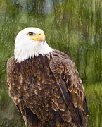 Les Palenik - Bald Eagle - with texture