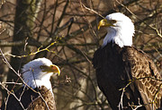 Rob Mclean  - Bald eagles at sunrise