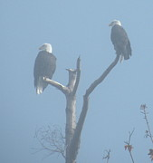 Eagles Photographs Posters - Bald Eagles in the Fog Poster by Brian Chase