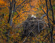 Mark Steven Perry - Bald eagles nest in Fall