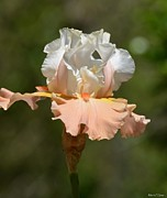 Peach And White Prints - Ballerina Iris Print by Maria Urso - Artist and Photographer